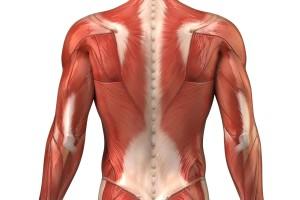 apparato muscolare