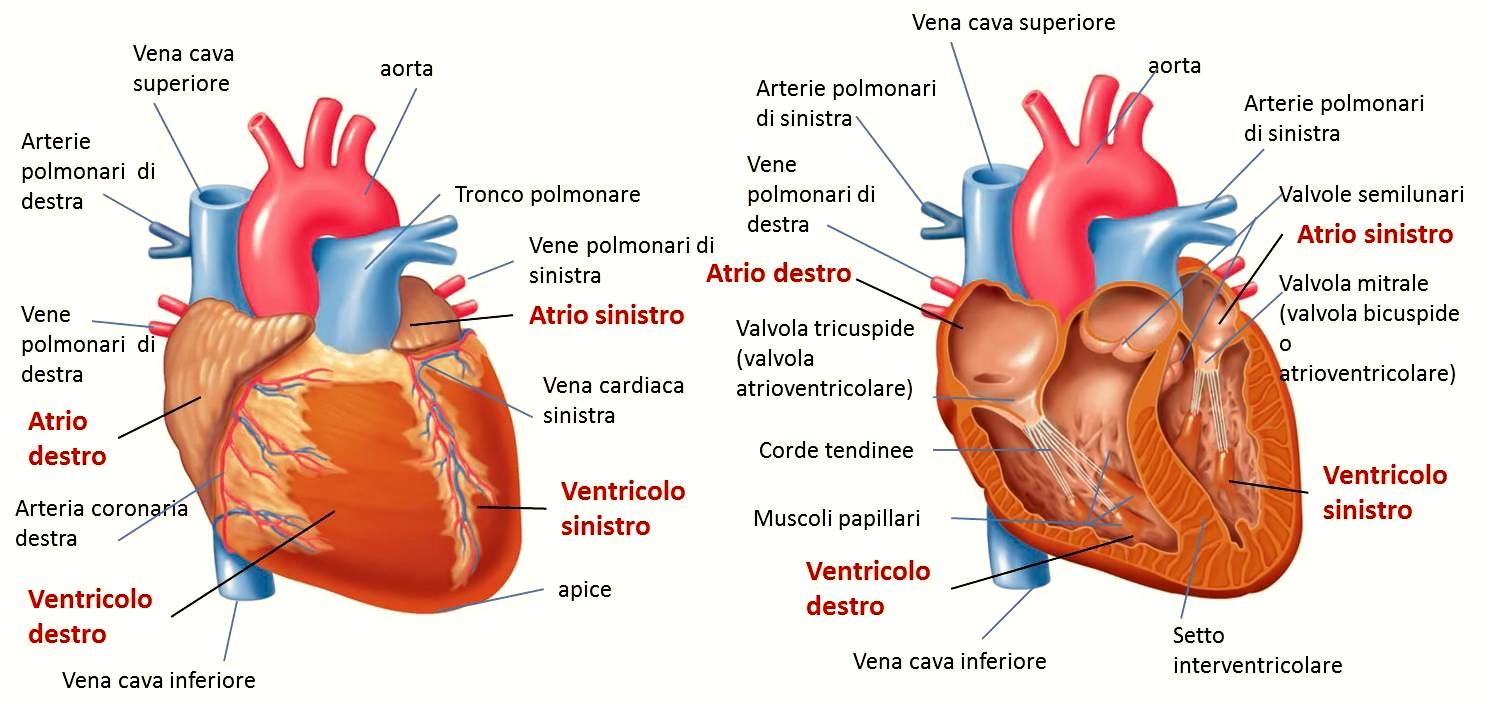 Estremamente Come è fatto il cuore umano AI18
